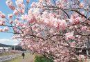 2020年3月9日 開花情報 南足柄市「春めき桜」が満開に!