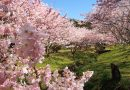2020年3月11日 開花情報「春めき桜」今年一番の見頃です!