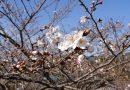 2020年開花情報 南足柄市運動公園・ 大口広場の『ソメイヨシノ』が咲き始めました!