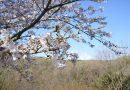 2020年4月2日「中井中央公園」ソメイヨシノの様子です