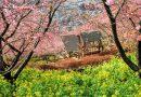 [2016年2月16日]松田山の桜が一気に満開!!まつだ桜まつりへ行こう!!