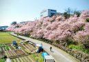 南足柄市一の堰ハラネの「春めき」桜、ただいま(およそ)8分咲き!!