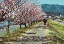 3連休に桜めぐりはいかが?春木径・幸せ道で「春めき」の香りを愉しもう!