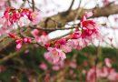 2017年 中井町『中井中央公園のおかめ桜』が見頃です!