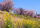 2017年開花情報!今が見頃!『春めき』桜が満開です!