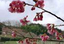 2017年開花情報!大雄町花咲く里山の「大雄紅桜」が咲き始めました。