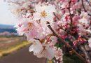 2017年開花情報!まだまだ見頃!『春めき』桜
