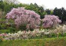 2017年開花情報!大雄町花咲く里山の「紅しだれ桜」「花桃」が満開です。