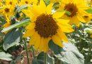 一足早い夏を見に行こう!『TOMIOファームユートピア 農園』ひまわりが満開です。