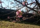 2018年開花情報「河津桜」松田山ハーブガーデンは見頃となりました!