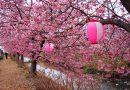 2018年開花情報 大井町「ゆめの里」・南足柄市「 洞川堤防」の河津桜が見頃になりました!