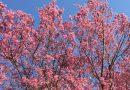 2018年開花情報 中井中央公園「おかめ桜」は満開。南足柄市春木径「春めき」は2分咲きです。