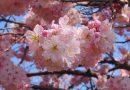 2018年開花情報 南足柄市 『春めき桜』が満開です!
