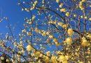 青空に映える黄色の花。「第8回寄ロウバイまつり」が見頃を迎えました。