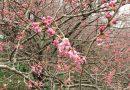 2019年開花情報 一ノ堰ハラネ「春めき桜」の開花が始まりました!