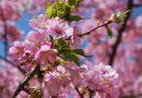 『まつだ桜まつり』ってどんなイベント?2016年も松田山ハーブガーデンへ行こう!!
