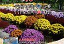 南足柄市大雄町「花咲く里山」の「ざる菊まつり」が15周年を迎えます。
