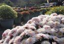 2019年開花情報 南足柄市大雄町「花咲く里山」の「ざる菊」が見頃となりました。