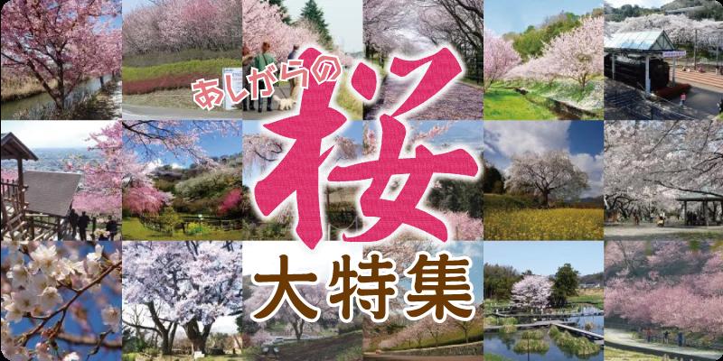 アシガラッテ2016年春号の『あしがら桜大特集』がWebサイトでもご覧いただけます!
