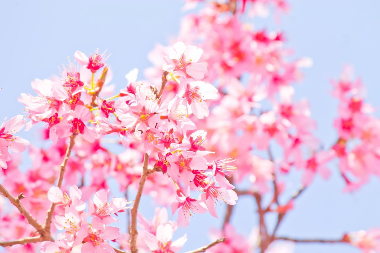 桜スポットの探し方 in あしがら!アシガラッテではこんなふうに桜のスポットを探しました…!