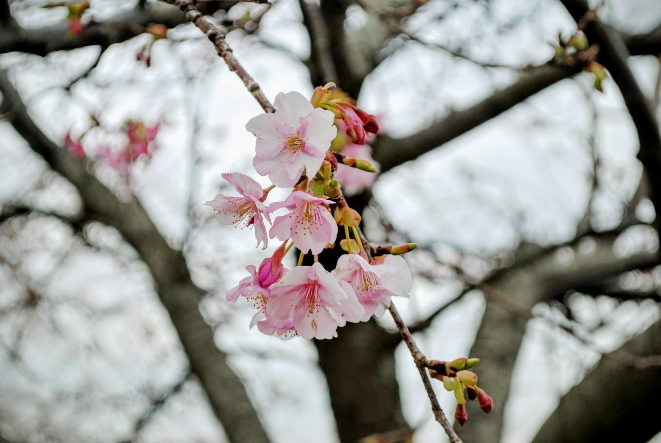 [2016年2月12日]いよいよ明日らから「まつだ桜まつり」開催!!松田山の桜の様子は?