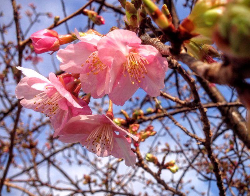 [2016年2月4日]松田山の桜の様子は?
