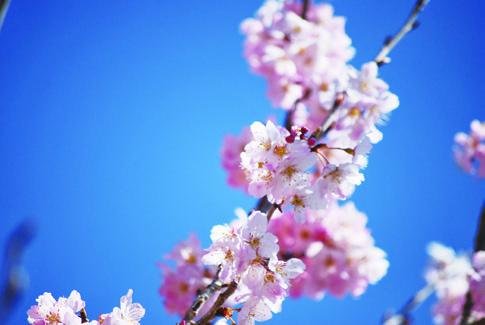 『春めき』ってどんな桜?