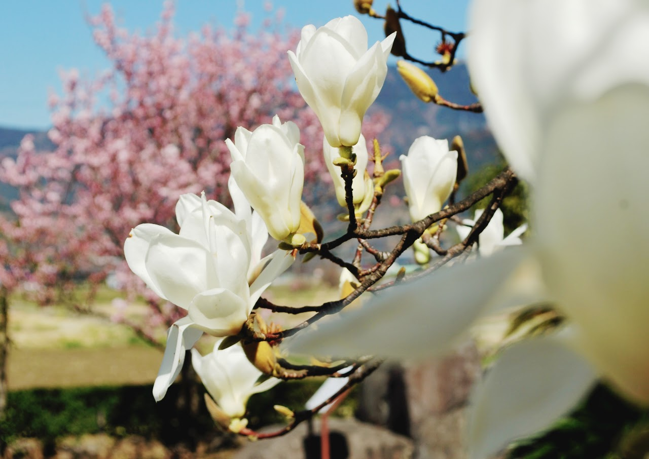 「春めき」の桜だけじゃない…!ふくざわ公園はいま、花ざかり!!