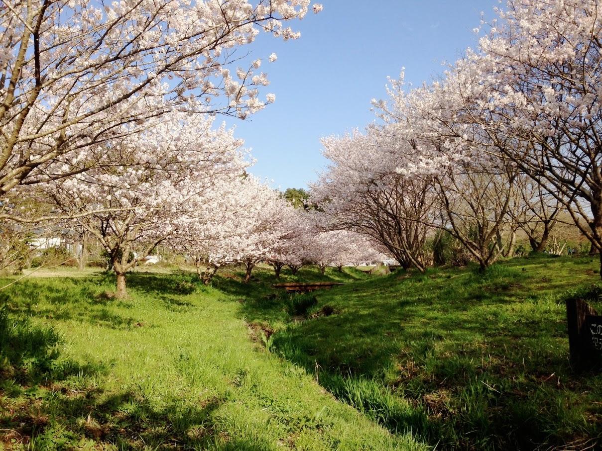 これは癒される!南足柄市『森と水の公園』で静かなお花見を愉しもう。