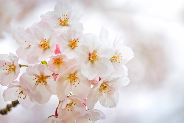 2016年4月のあしがら地域イベント情報|ソメイヨシノのお花見もあしがら地域で!