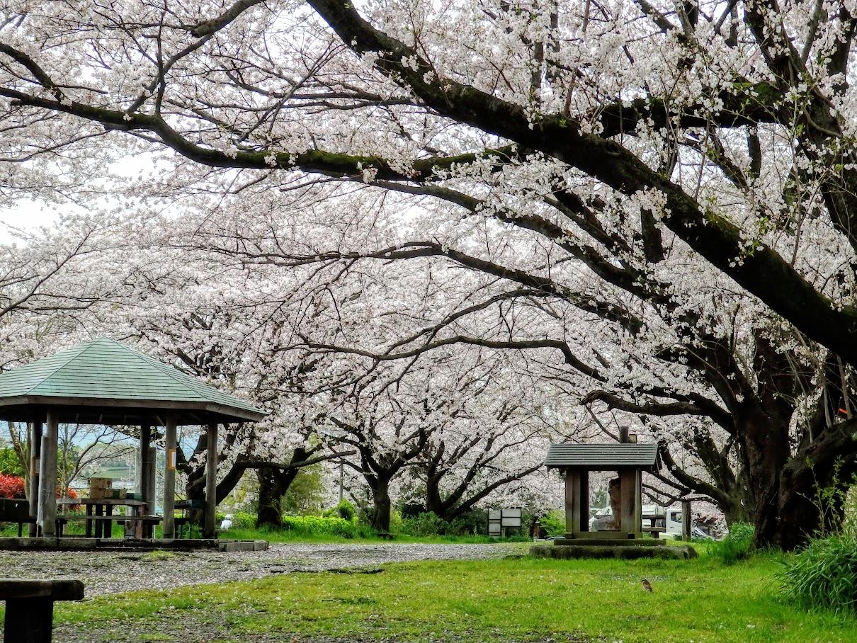 『南足柄市大口広場』へ!巨木の桜並木の下、ゆっくりお花見を楽しもう!