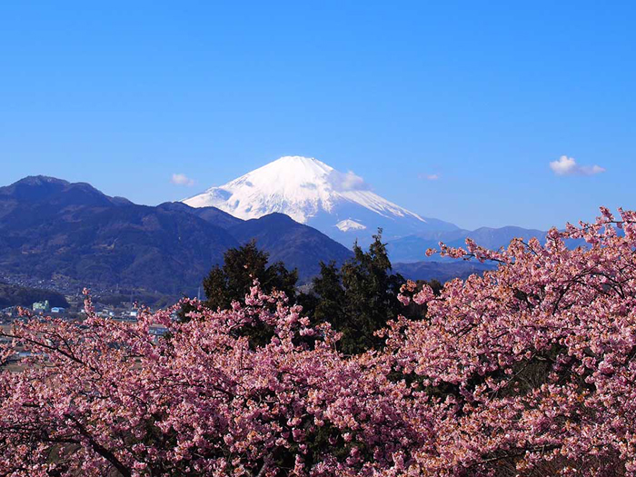 満開になりました!2017年『まつだ桜まつり』見頃は今週末まで!