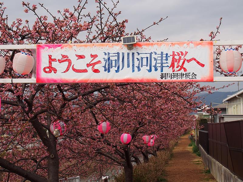 のんびりお花見!2017年洞川河津桜を見てきました