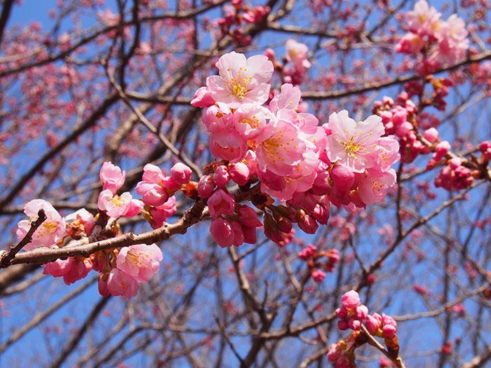 2017年開花情報!『春めき』桜が咲きはじめました