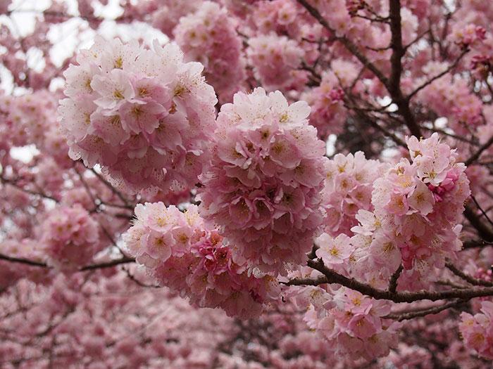2017年開花情報!お待ちかね『春めき』桜が見頃です!