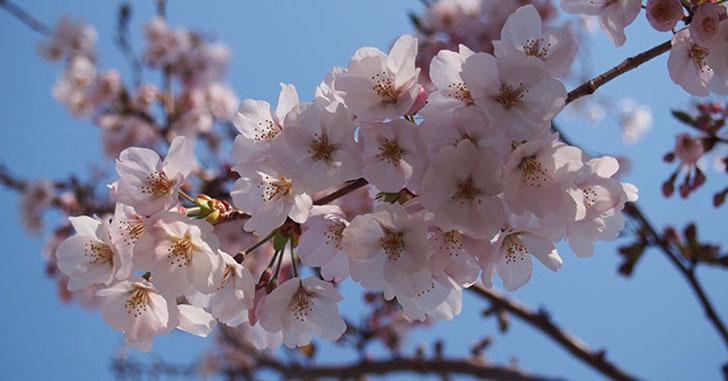 2017年開花情報!『ソメイヨシノ』が咲きはじめました