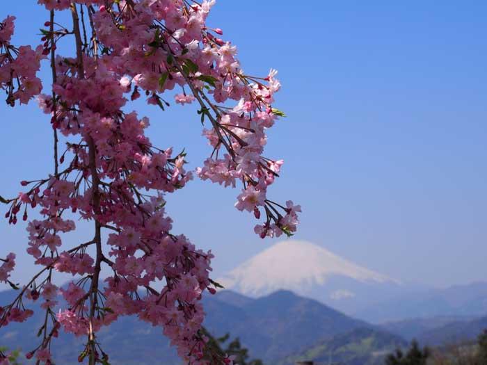 今の時期も良いですよ!枝垂れ桜と富士の絶景 松田山ハーブガーデン