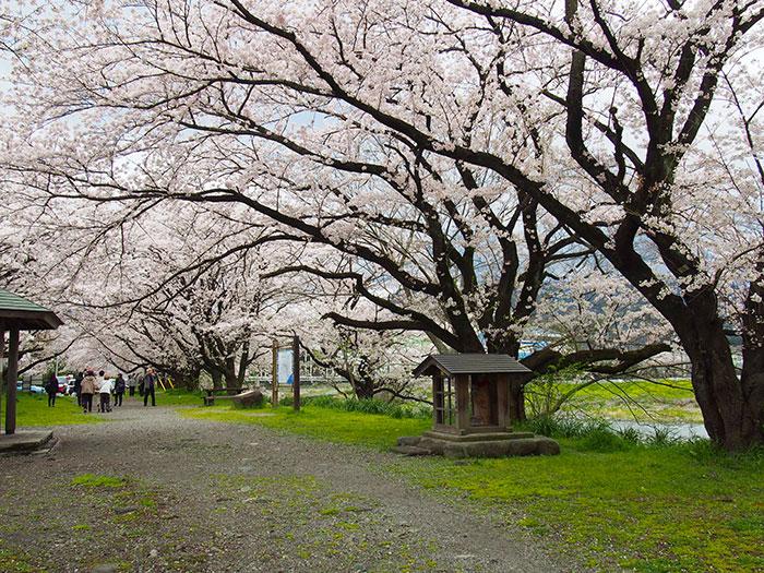 2017年開花情報!まだ見頃!『ソメイヨシノ』が満開です。