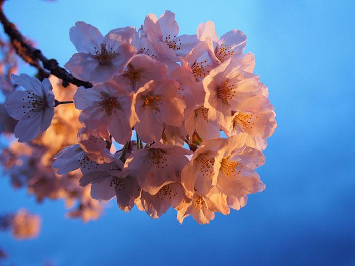 夜桜に魅せられます! 2017年『やまきた桜まつり』に行ってきました