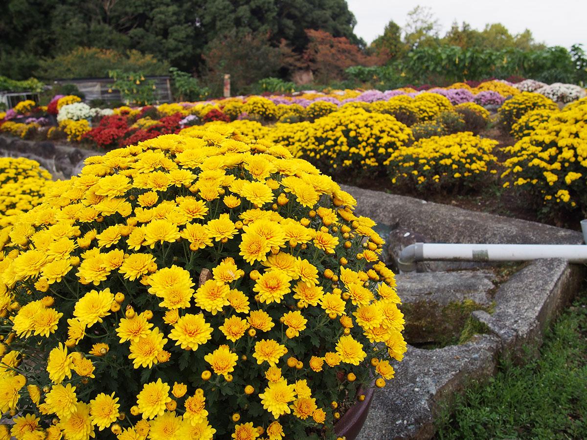 里山の秋の風景が美しい!大雄町花咲く里山の「ざる菊」が見頃です。