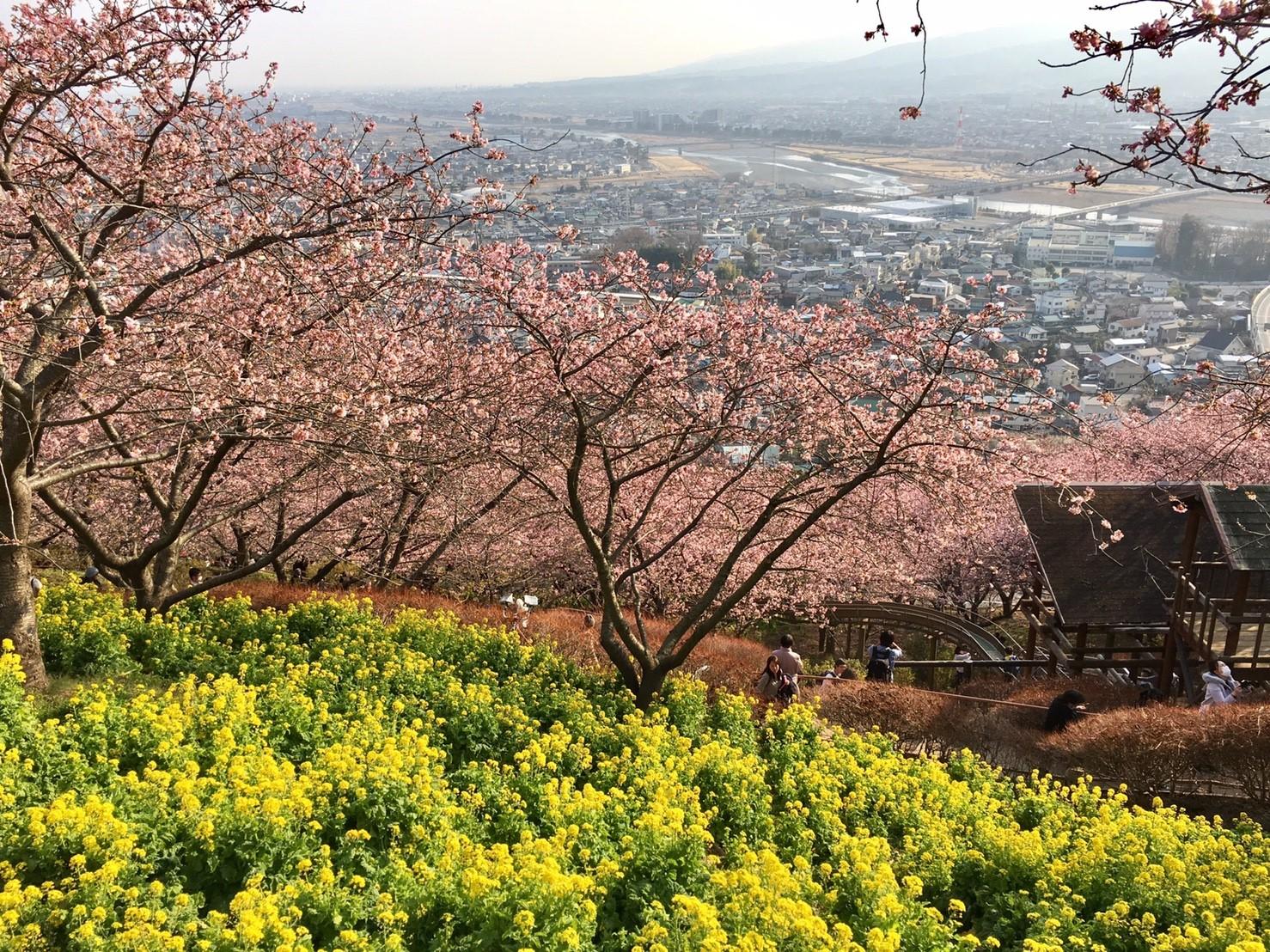 2018年開花情報 松田山ハーブガーデンは8~9分咲きです!