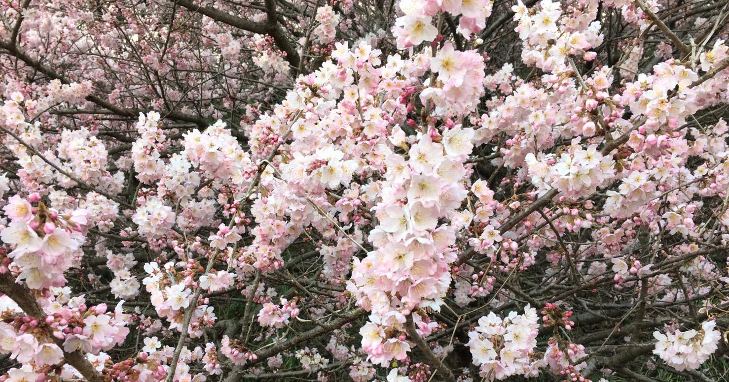 2018年開花情報 南足柄市「一の堰ハラネ春めき」「ふくざわ公園春めき」は7~8分咲きです。