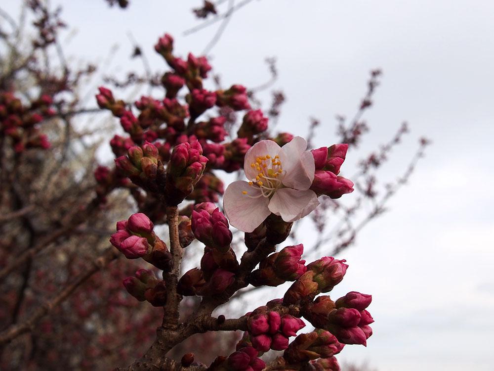 2018年開花情報 南足柄市「春めき」つぼみが膨らみもうすぐ開花です。