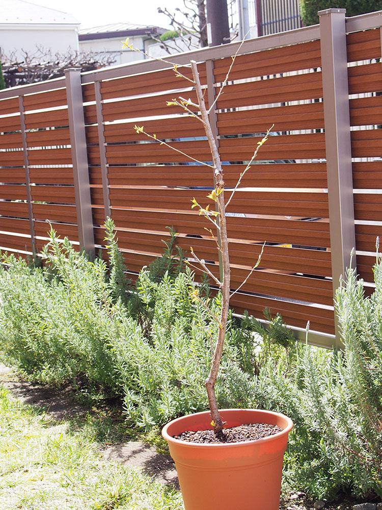 春めきの苗を植えてみました。