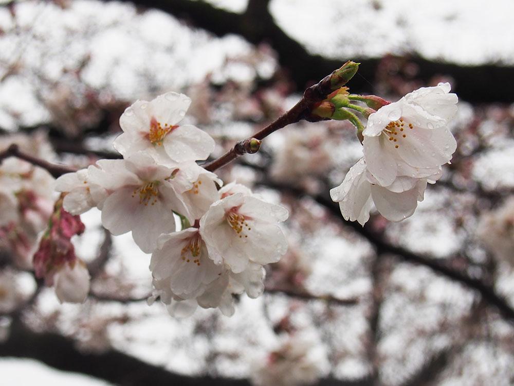 2018年開花情報 南足柄市 大口広場『ソメイヨシノ』が咲き始めました!