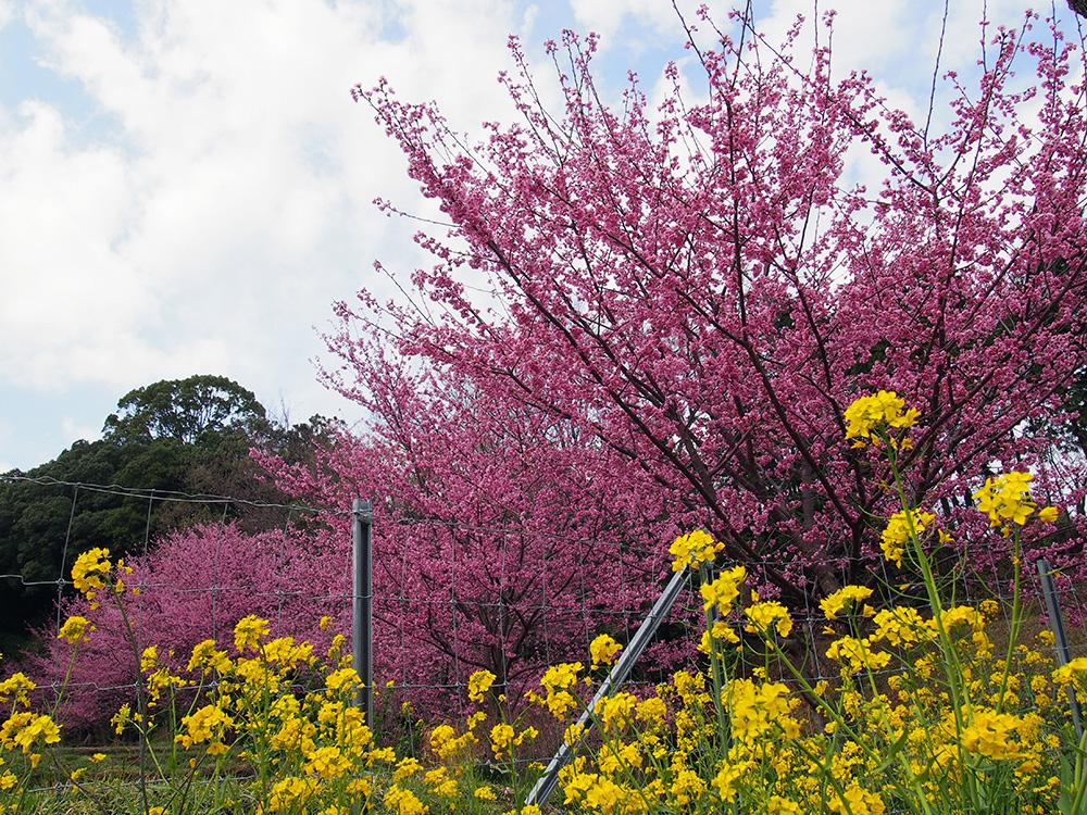 2018年 大雄町 花咲く里山 大雄紅桜が満開です!