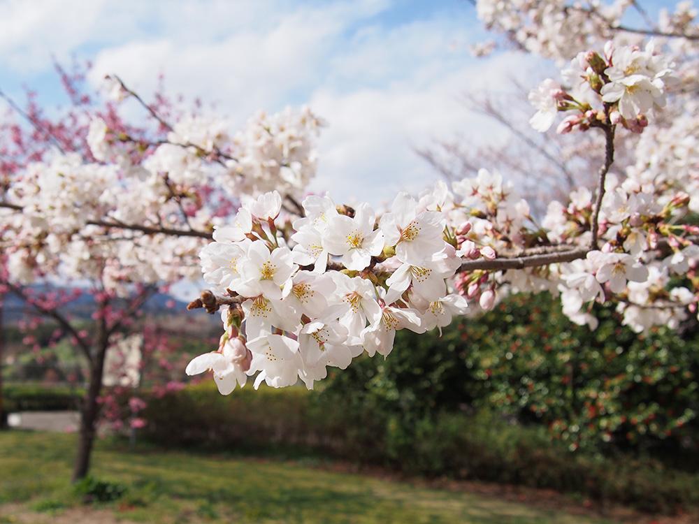2018年開花情報 『ソメイヨシノ』がもう少しで見頃です。