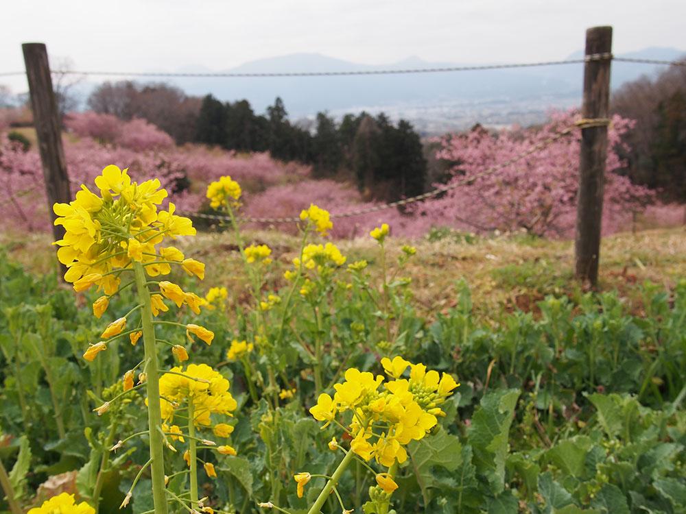 2018年開花情報 大井町「ゆめの里」・南足柄市「 洞川堤防」の河津桜は散り始めました。