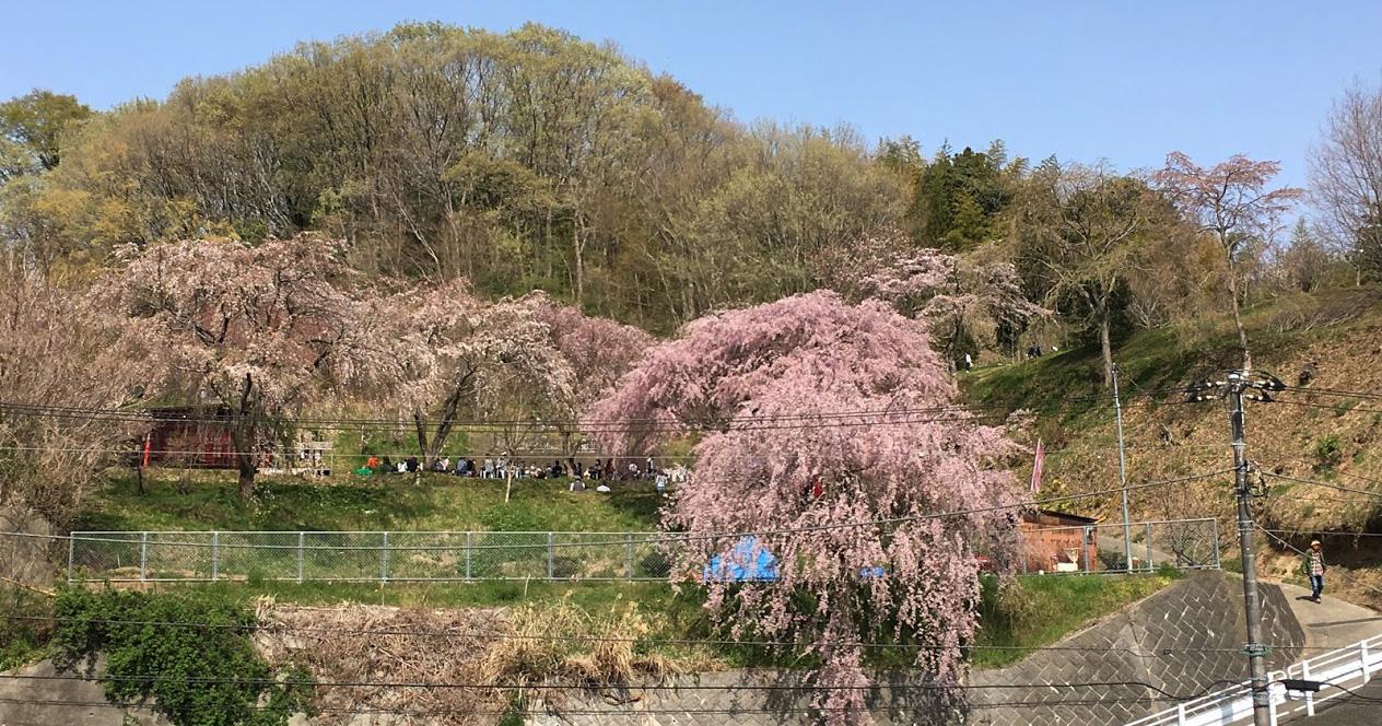 2018年 中井町「まつもと滝桜 お花見会」