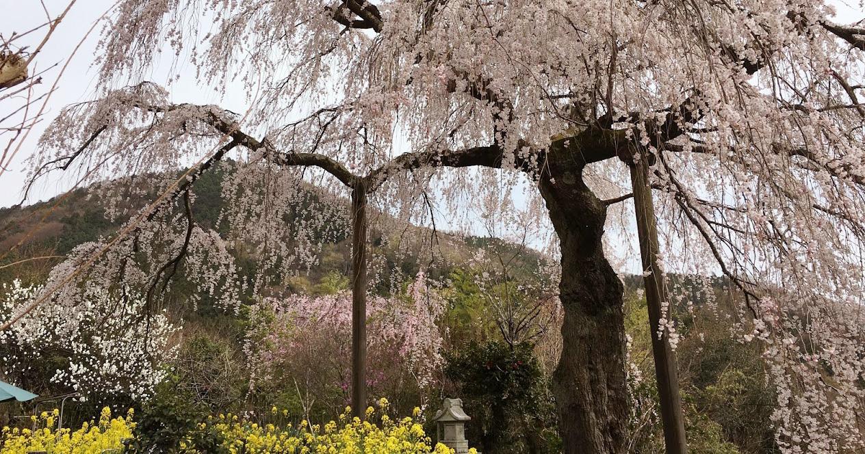 2018年松田町「寄しだれ桜まつり」の「みやま淡彩桜」 が満開です。